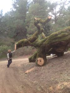 Fallen Heritage Oak, picnic grounds at Djerassi (credit: Djerassi)