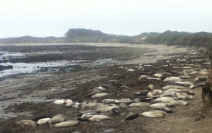 A colony of  young elephant seals (early Spring 2013)