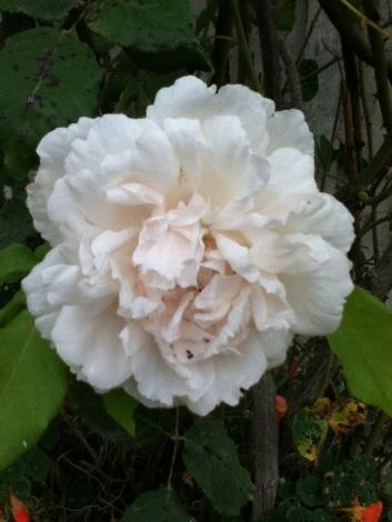 5 -rose