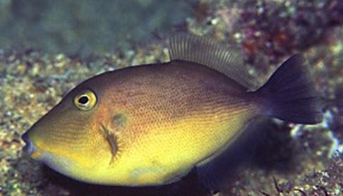 orange trigger fish