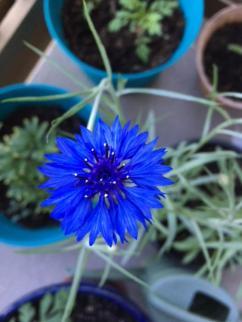 2 blue flower close up